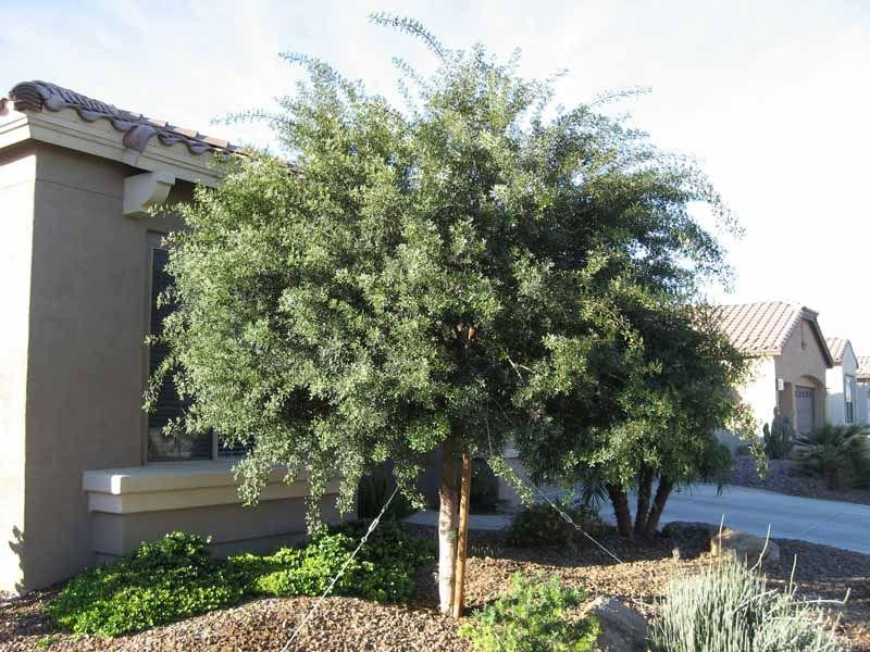 Mastic tree.jpg