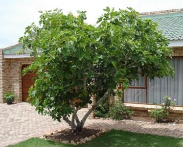 Mission Fig Tree.jpg