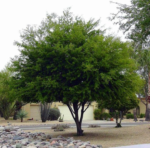 Texas Ebony Tree.jpg
