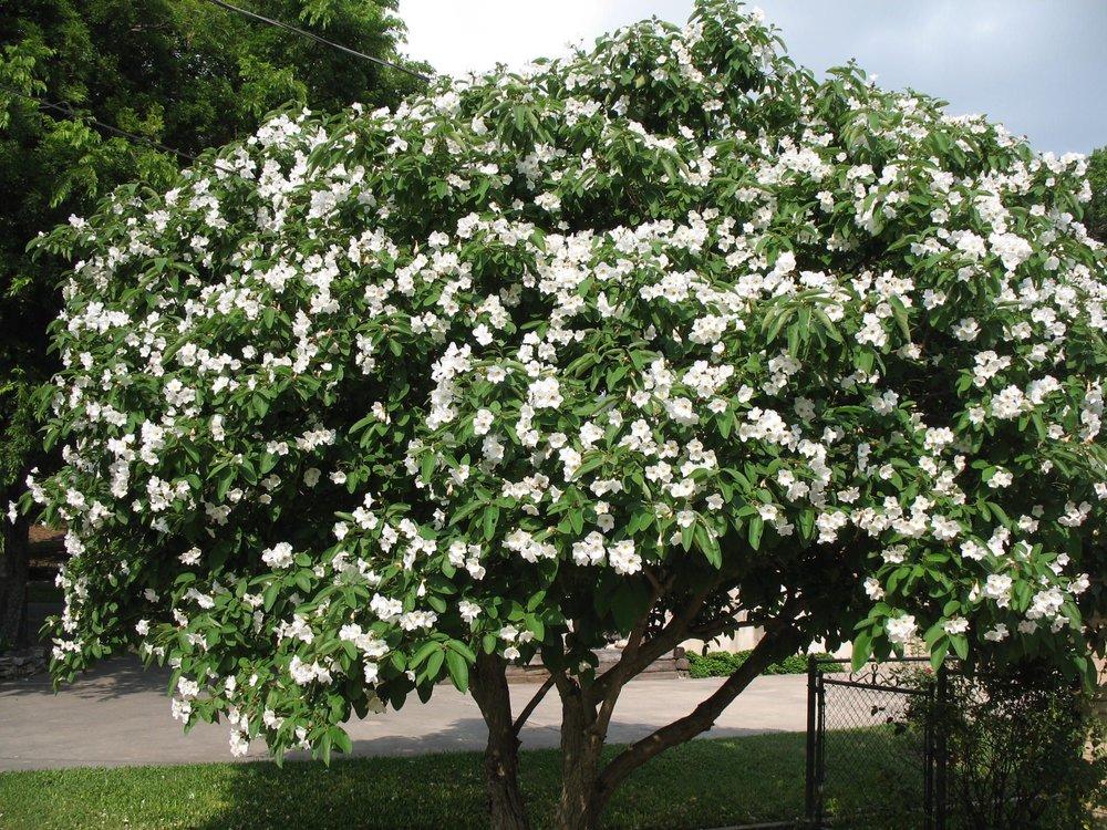 Texas Olive Tree.jpg