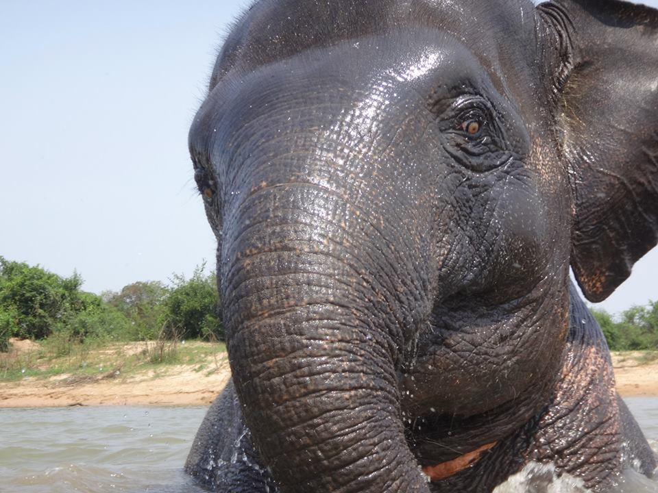 Warin, a young female Asian elephant in Ban Ta Klang Elephant Village, Surin, Thailand.