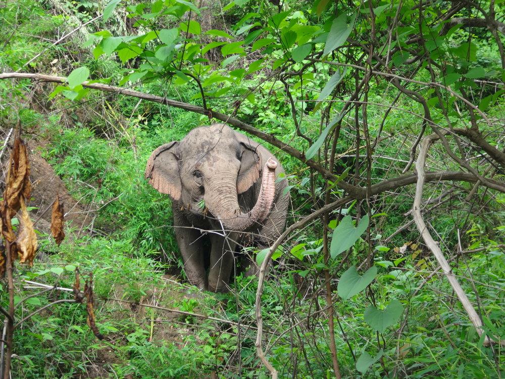 Mae Jumpee, an older female Asian elephant at Burm and Emily's Elephant Sanctuary (BEES), Mae Chaem, Thailand.