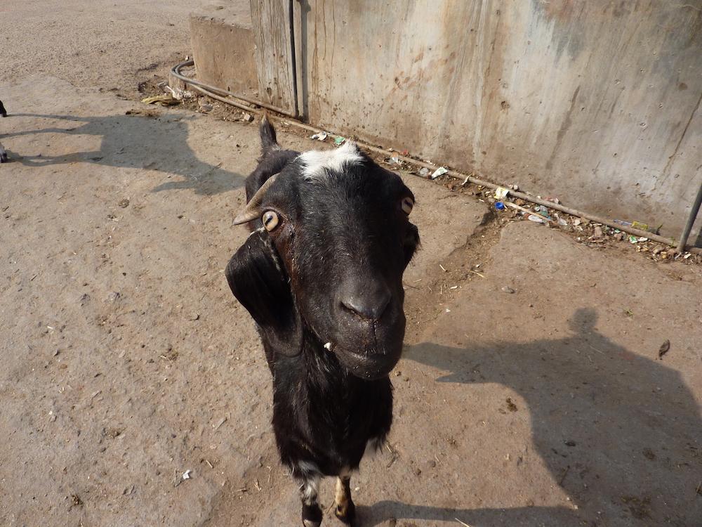 A friendly goat, Jaipur, India.