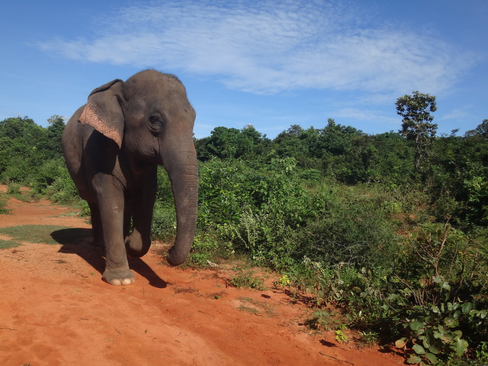 Fah Sai, a female Asian elephant in Ban Ta Klang Elephant Village, Surin, Thailand.