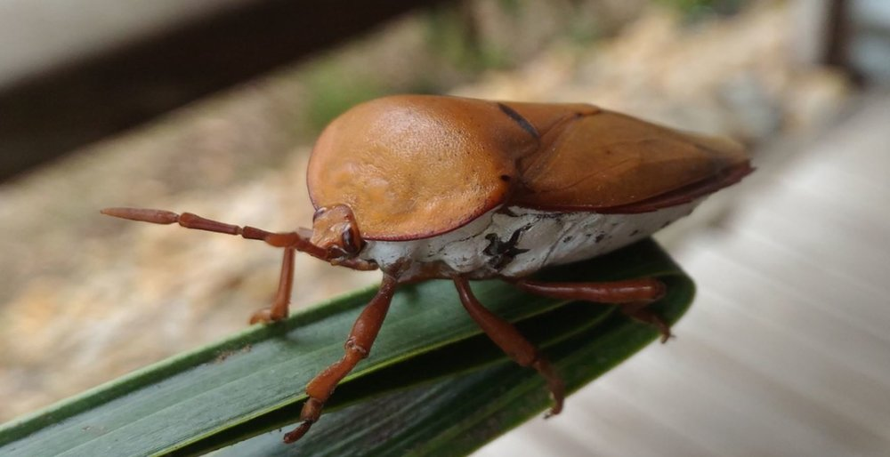 stink bug.JPG