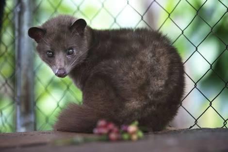 A Lewak or Cavit cat