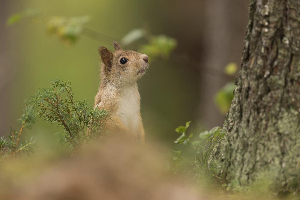 Red_Squirrel_MG_0008.jpg