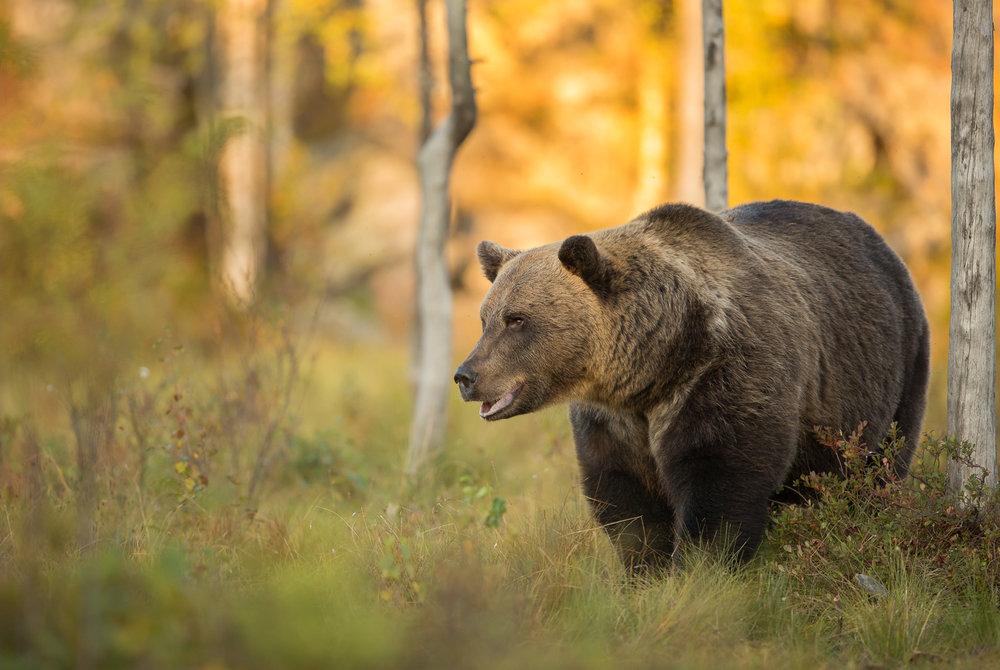 Brown Bear Photography Tour Finland_-3.jpg