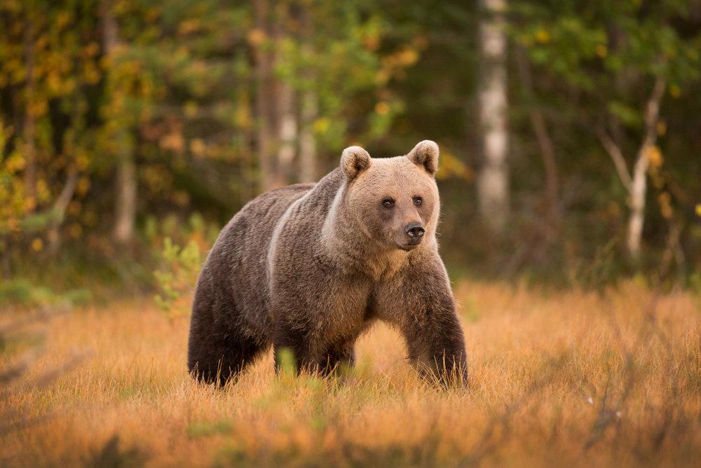 Brown Bear Photography Tour Finland_-4.jpg