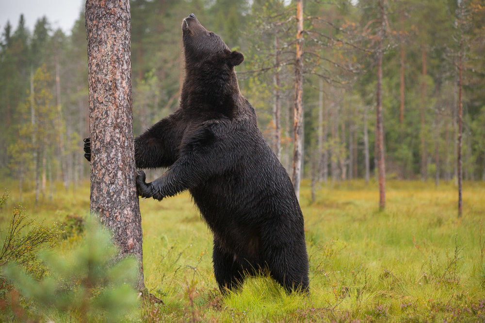 Brown Bear Photography Tour Finland_-8.jpg