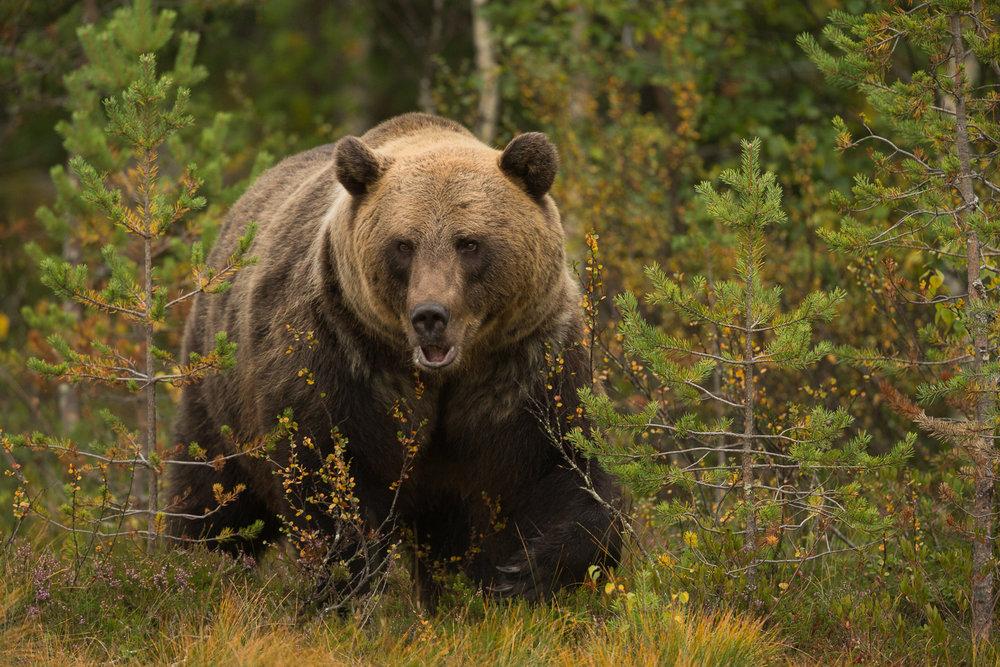 Brown Bear Photography Tour Finland_-10.jpg