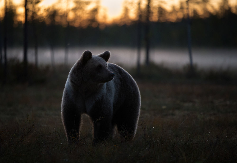 Brown Bear Photography Tour Finland_.jpg