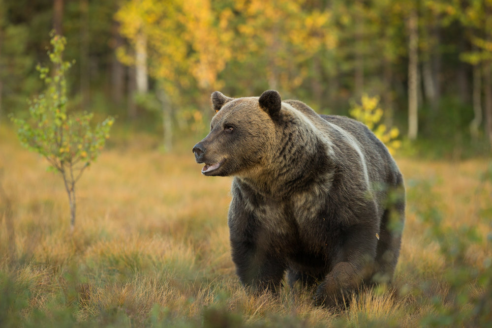 Brown Bear Photography Tour Finland_-12.jpg