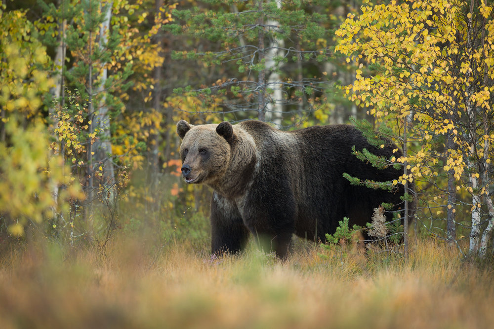 Brown Bear Photography Tour Finland_-9.jpg