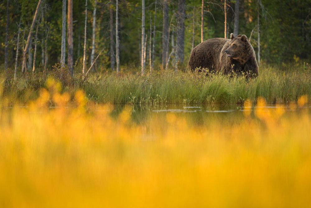 Brown Bear Photography Tour Finland_-11.jpg