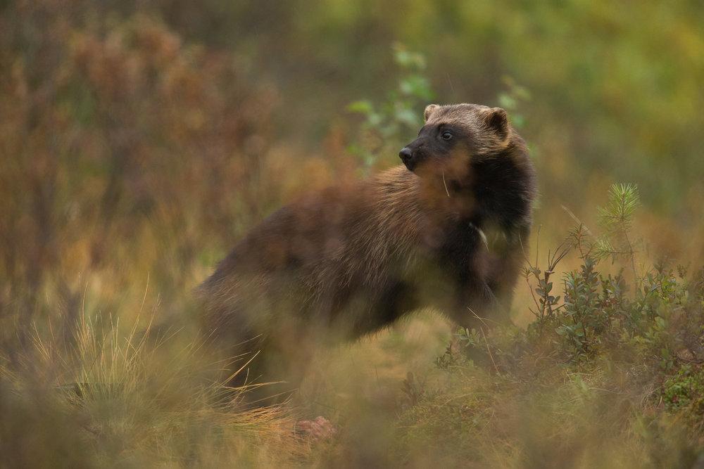 Brown Bear Photography Tour Finland_-13.jpg