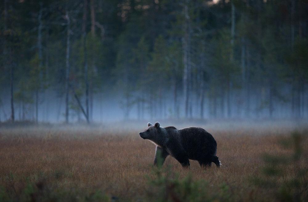 Brown Bear Photography Tour Finland_-14.jpg