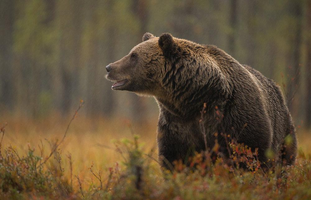 Brown Bear Photography Tour Finland_-16.jpg