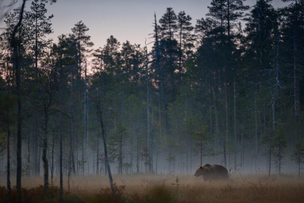 Brown Bear Photography Tour Finland_-15.jpg