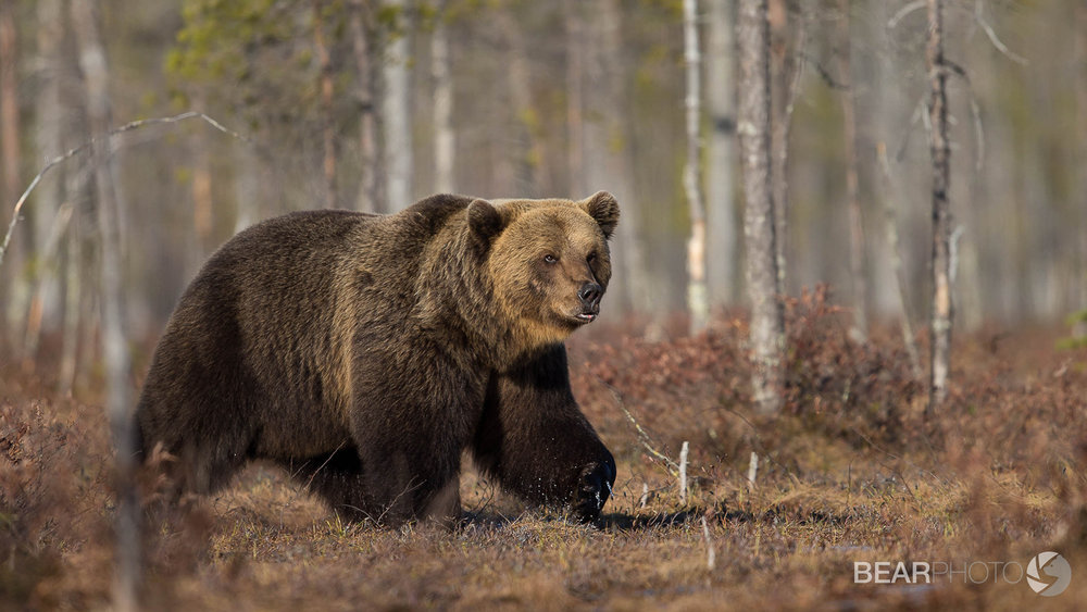 Brown Bear Photography Tour Finland_.jpg