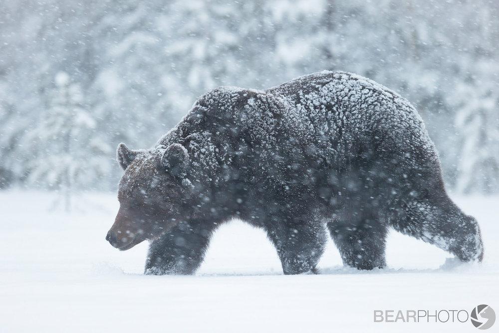 BearPhoto_NTTL_Kyle_Moore-3.jpg