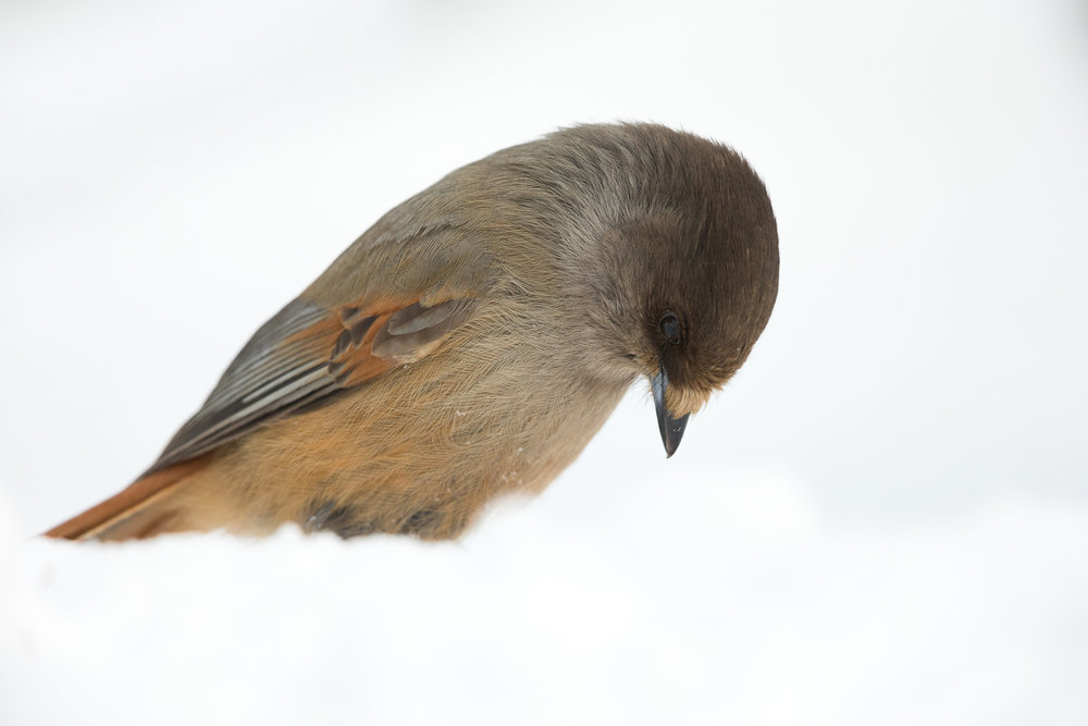 Bird Life Finland Bear Photography Tour.jpg
