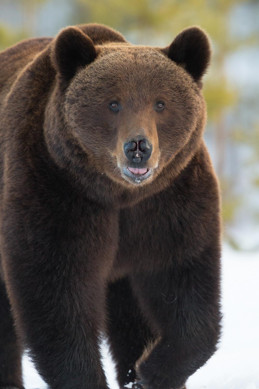 Brown bear photography tour Finland-6.jpg