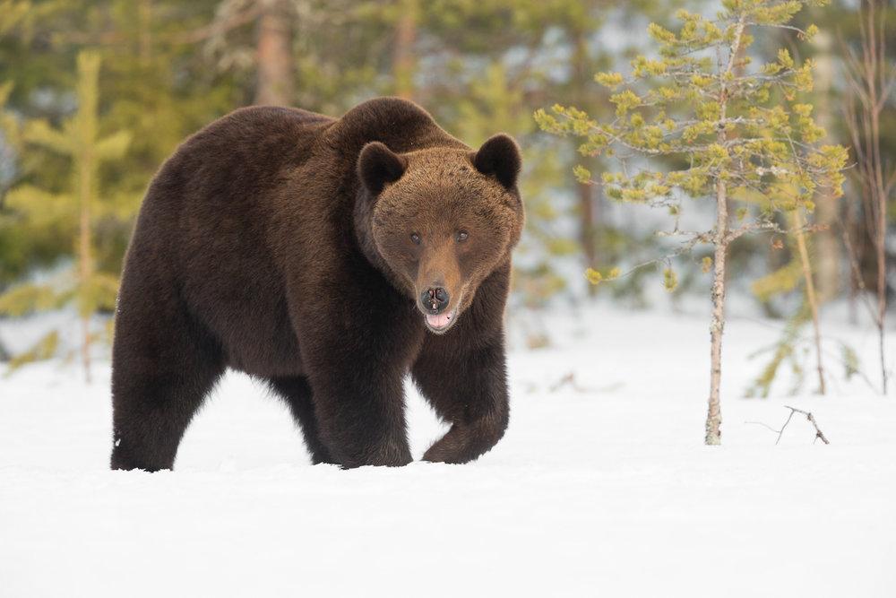 Brown bear photography tour Finland-5.jpg