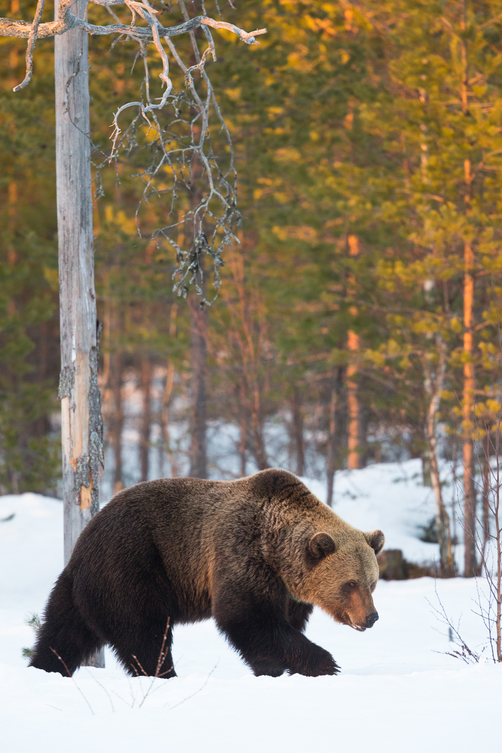 Brown bear photography tour Finland-11.jpg