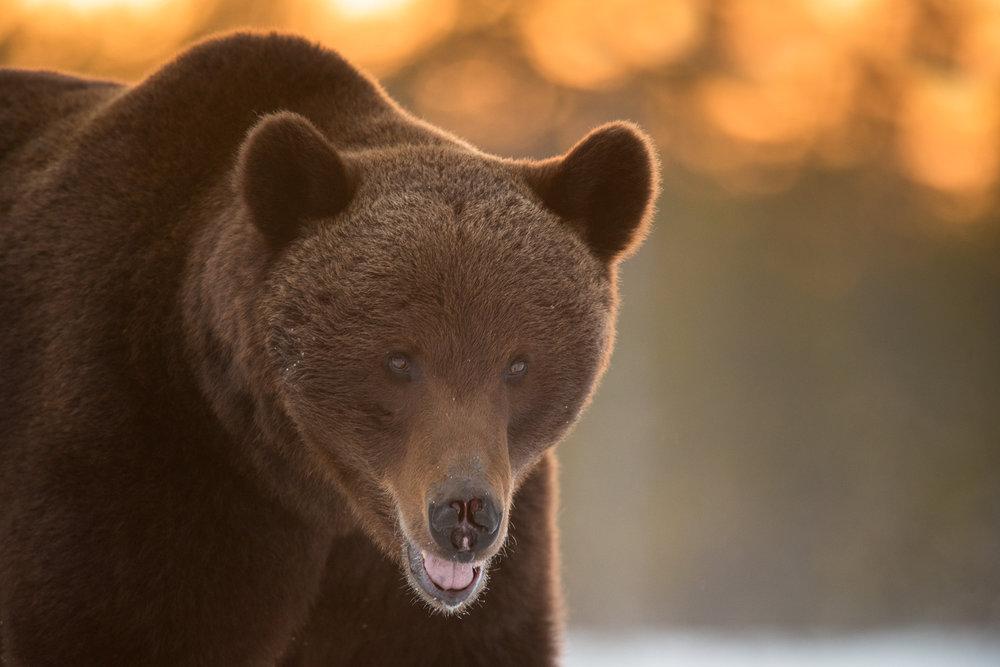 Brown bear photography tour Finland-13.jpg