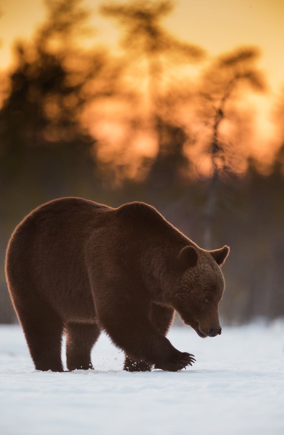 Brown bear photography tour Finland-14.jpg