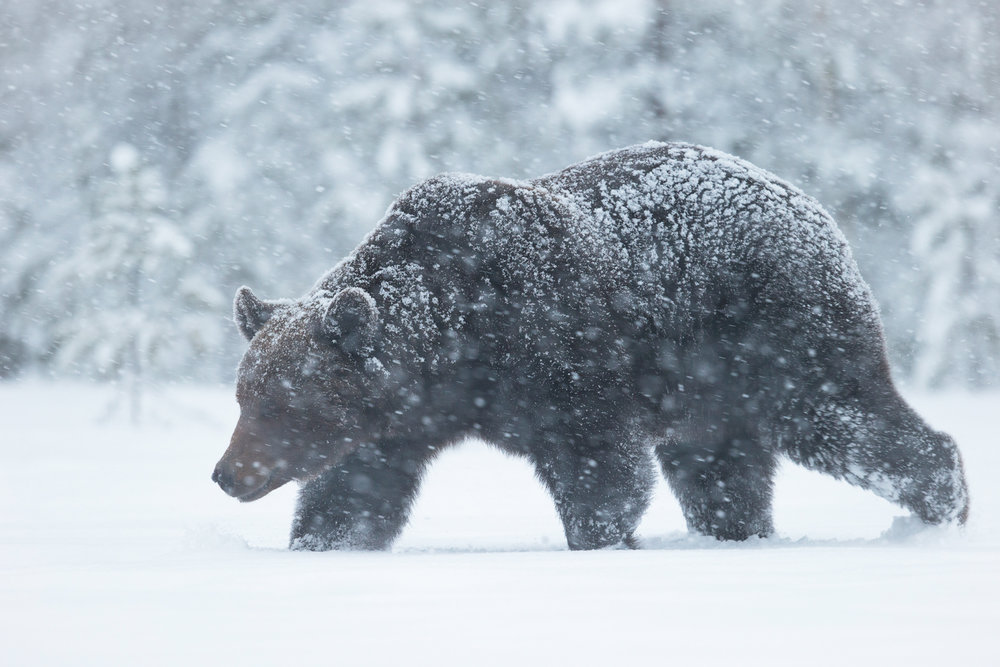 Brown bear photography tour Finland-16.jpg