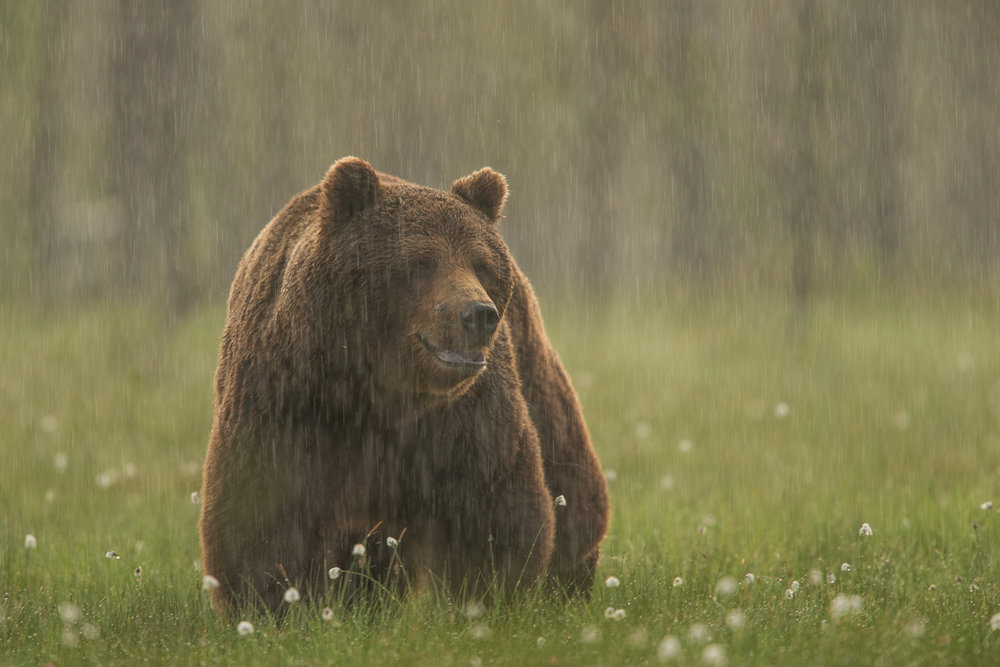 Brown bear photography tour Finland-7.jpg