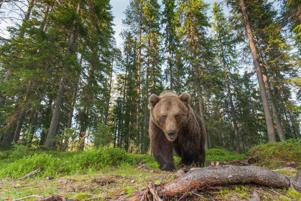 Brown bear photography tour Finland-11.jpg
