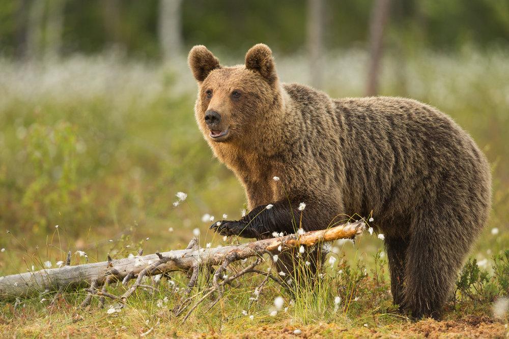 Brown bear photography tour Finland-12.jpg