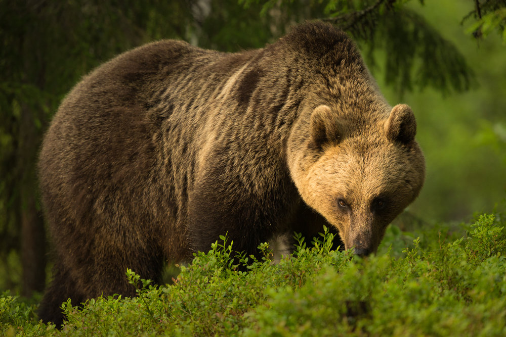 Brown bear photography tour Finland-17.jpg