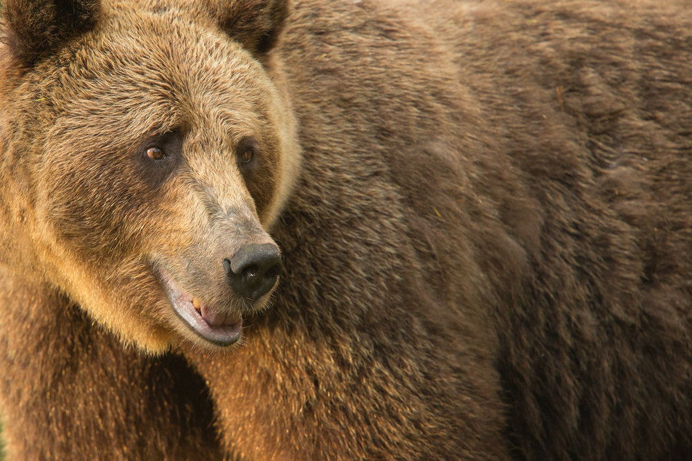 Brown bear photography tour Finland-18.jpg