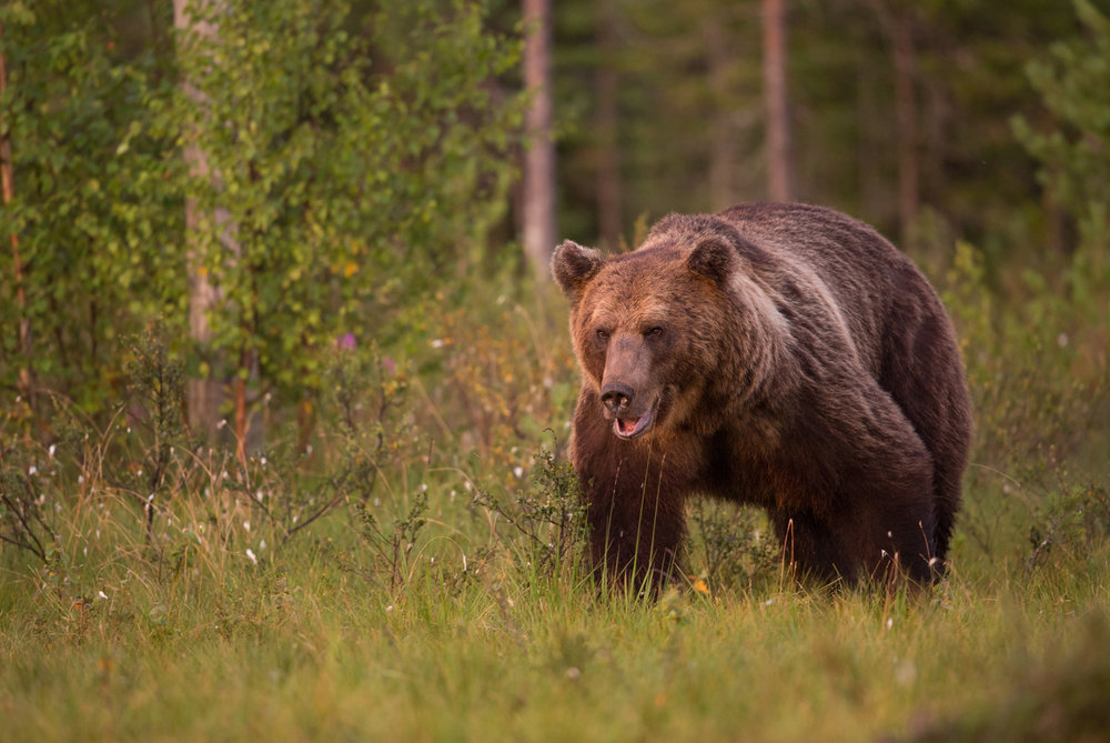 Brown bear photography tour Finland-25.jpg
