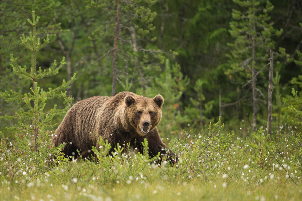 Brown bear photography tour Finland-30.jpg