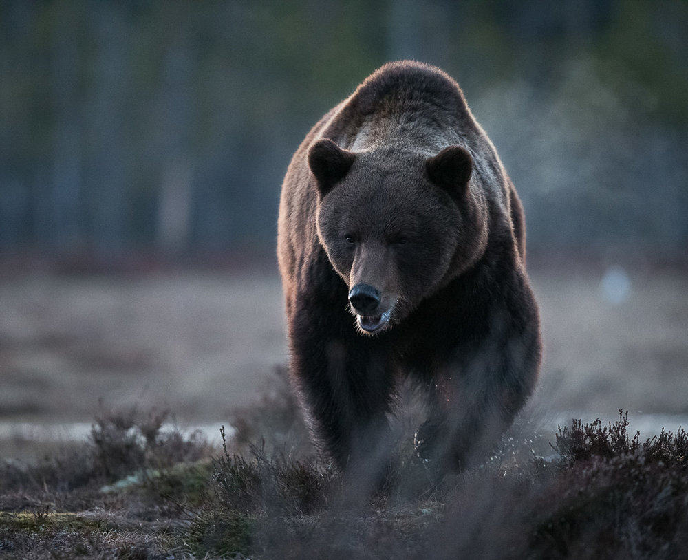 Brown bear photography tour Finland-20.jpg