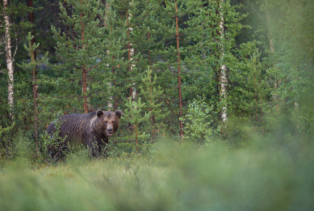 Brown bear photography tour Finland.jpg