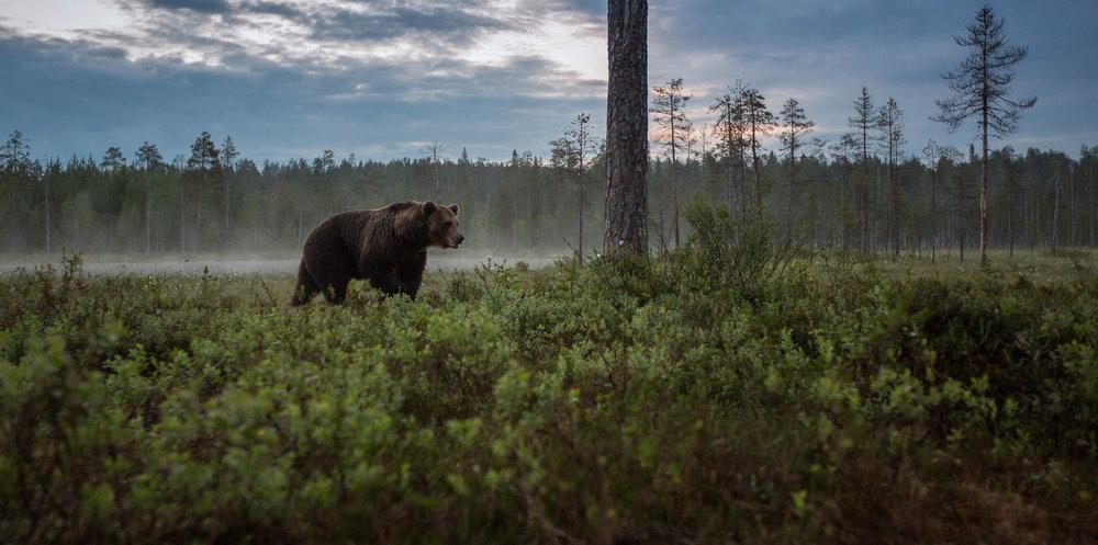 Bear Watching Holidays
