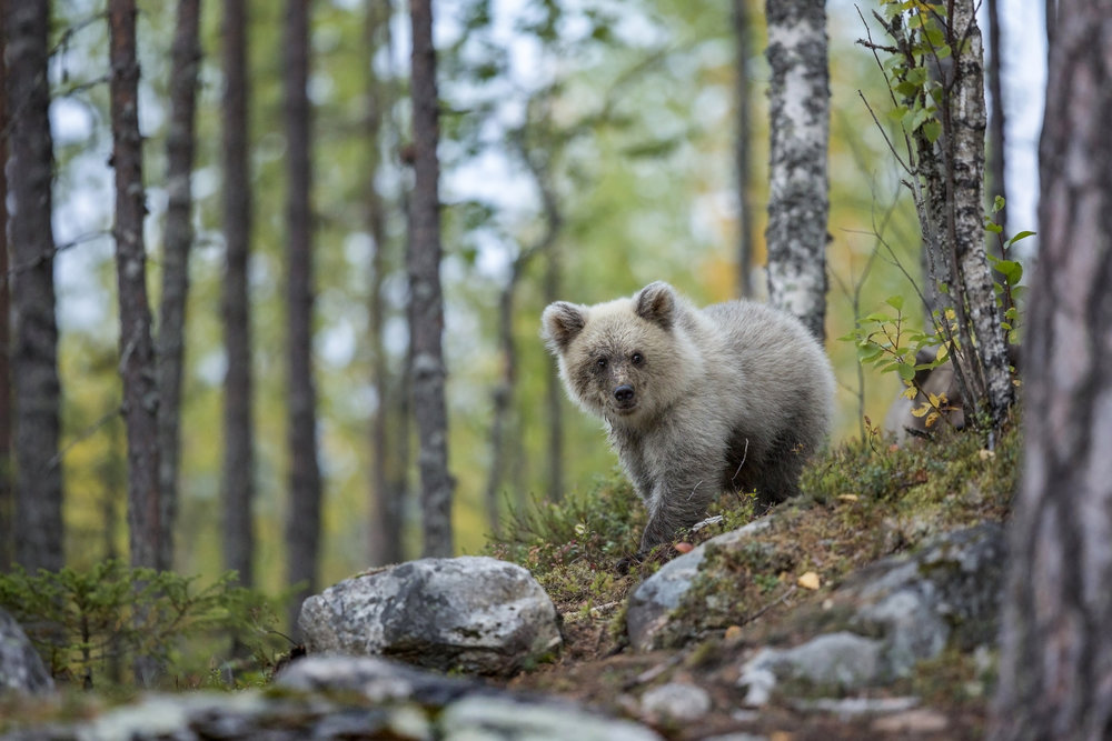 A pale Brown Bear cub wanders out of the forest edge onto a rocky outcrop, closely followed by it's mother.