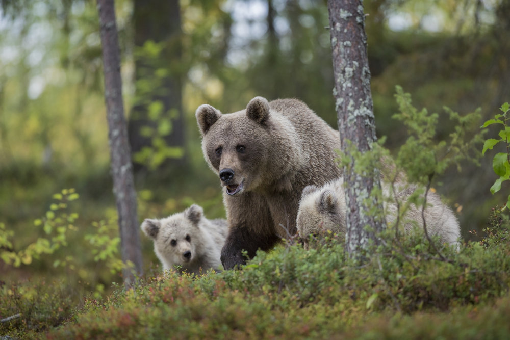 A female Brown Bear forages for food in an area of thick forest, alongside her cubs.