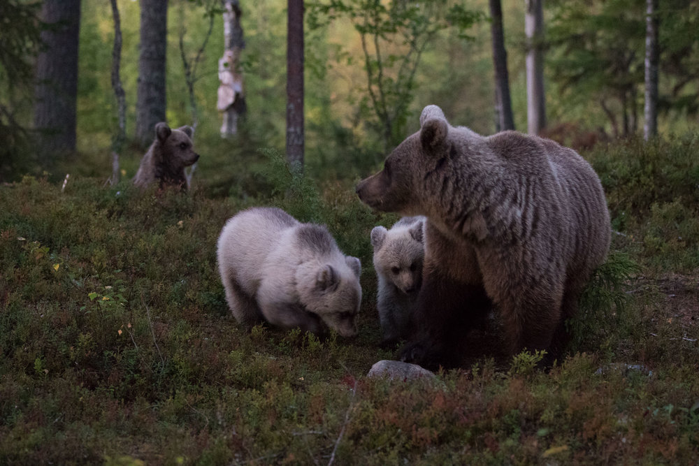 The mother Bear emerging from the forest depths accompanied with her three adorable cubs. Image © Magnus Fredriksson