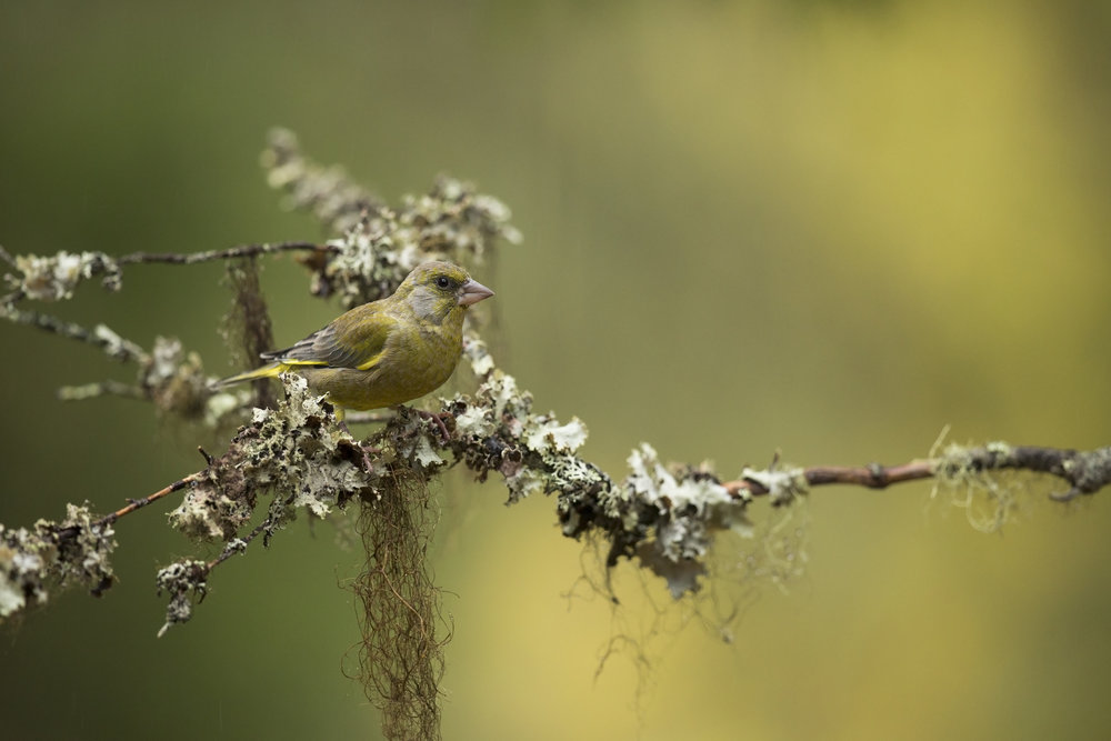 A Greenfinch perches on a moss covered branch.