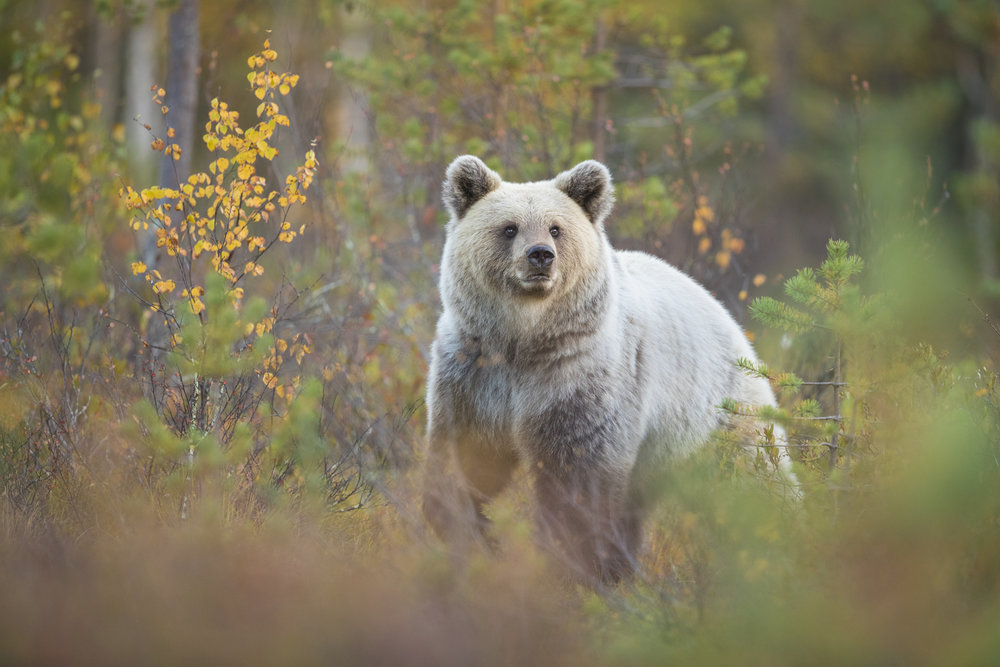 'Blondie' the pale female Brown Bear, emerging from the forest edge.