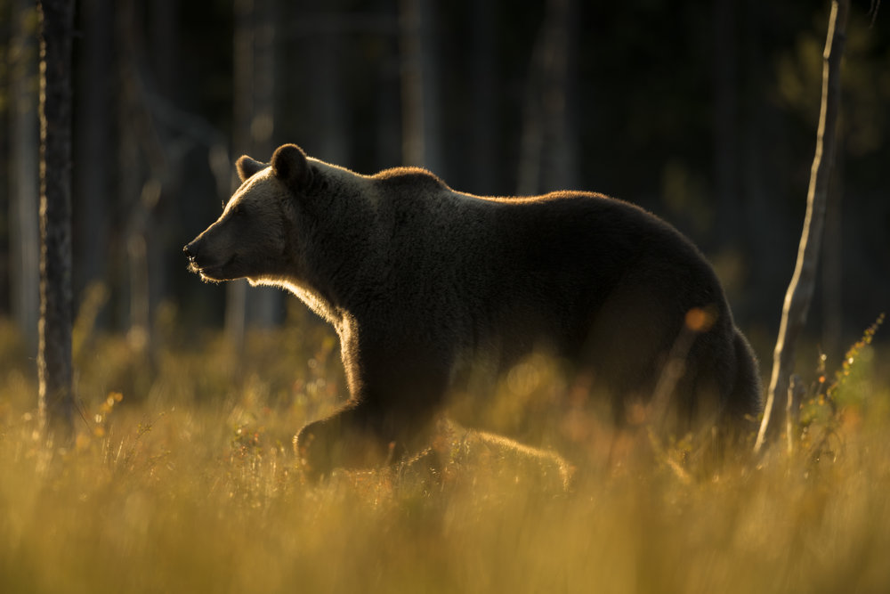 A large male bear confidently passese the north lake at sunset.