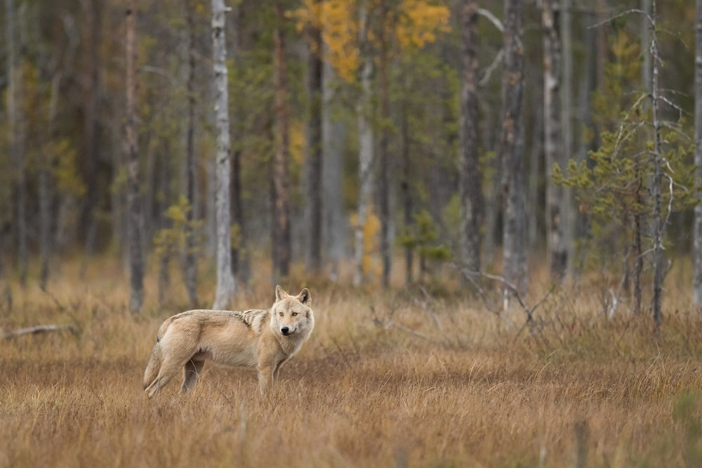 An alpha female Grey Wolf wanders cautiously across the autumnal swamp, pausing for a moment to check her surrounds.