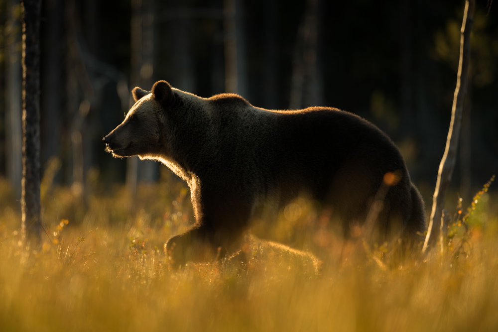 Autumn Brown Bear Trip-4.jpg
